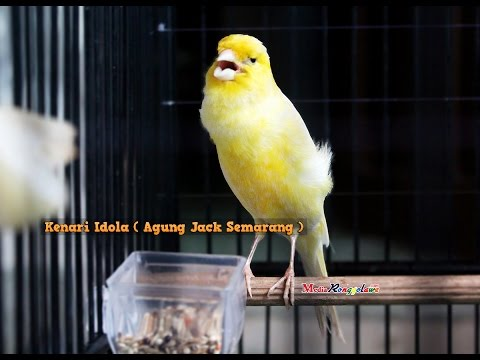 Download Lagu SUARA BURUNG : Kenari Idola Milik Om agung jack Semarang