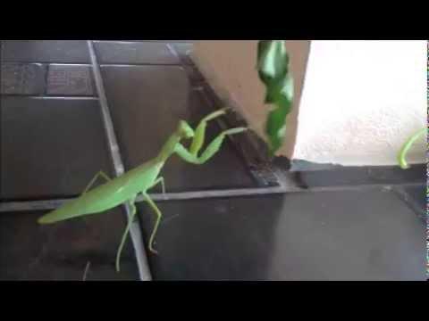 Dancing boxing praying mantis in my home in Thailand