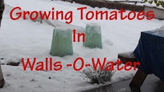 Gardening Tips: Using Wall O Waters to get your tomatoes started early (Ep 5)