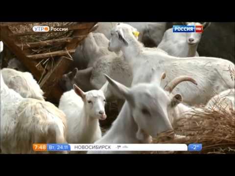 Болеет ли коза бруцеллезом