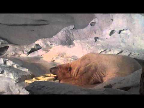 Seaworld Wild Arctic Polar Bears Part 1