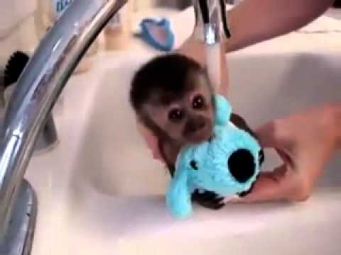 Карликовую обезьянку купают