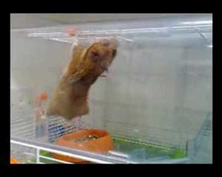 Hamster vs Gravity