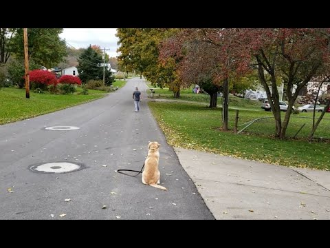 Columbus Ohio Dog Training: BEFORE & AFTER : with Champagne, the Golden Retriever