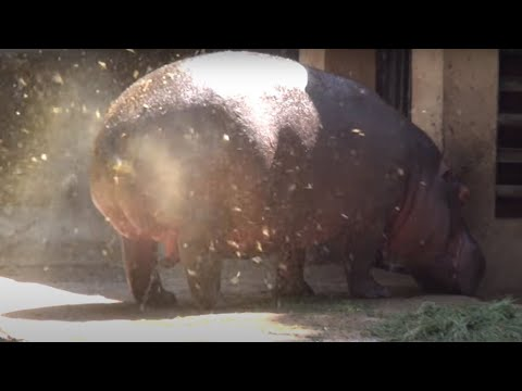 A SUPER FAT HIPPOPOTAMUS URINATES ! ONE OF A KIND FOUNTAIN BURST OF EPIC PROPORTIONS