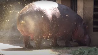 A SUPER FAT HIPPOPOTAMUS URINATES ! ONE OF A KIND FOUNTAIN BURST OF EPIC PROPORTIONS !!!!!!!!!!!!!!!