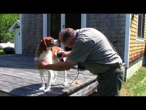 My buddy Benny the beautiful Brittany gets groomed for fall bird hunting!  How to do it with ease!