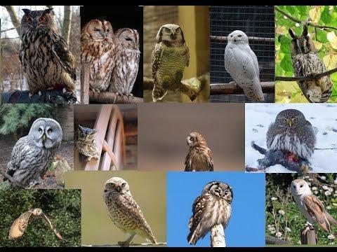 los sonidos de las aves de la noche y sus imágenes .Canto de aves