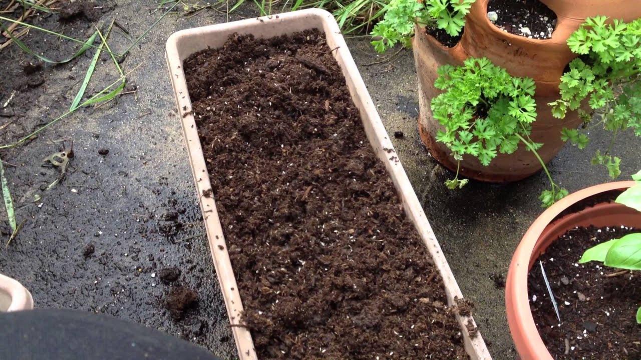 Growing lettuce in a pot - Growing Lettuce In A Pot 38