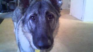 8 Month Old German Shepherd Barking