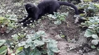 Вислоухий кот ловит мышь 16 сентября 2018 г.