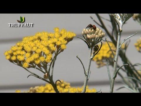 Comment bien tailler l 39 h lichrysum la plante au curry for Plante curry