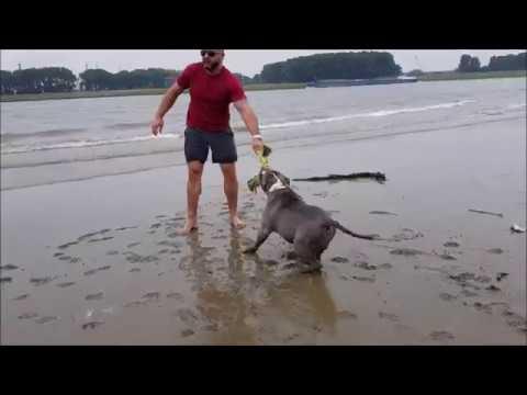 Swimming day with my Bully type pitbulls Tyson and Panthera