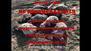 Волки жестоко загрызли стадо баранов  около  д. Тамболес