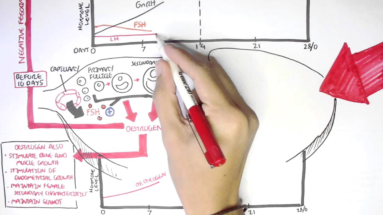 menstrual cycle diagram with ovulation 2005 dodge neon stereo wiring female reproductive system hormones and regulation youtube