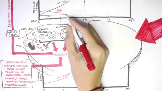 Female Reproductive System - Menstrual Cycle, Hormones and Regulation thumbnail