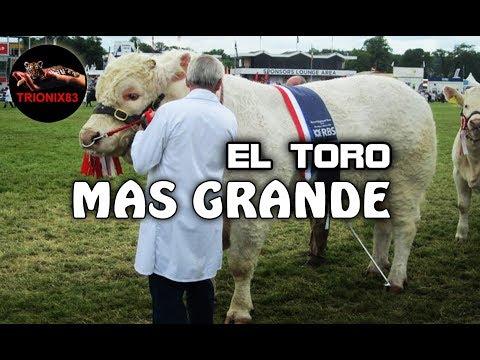 EL TORO MAS GRANDE DEL MUNDO Los toros mas grandes del mundo Toros Gigantes