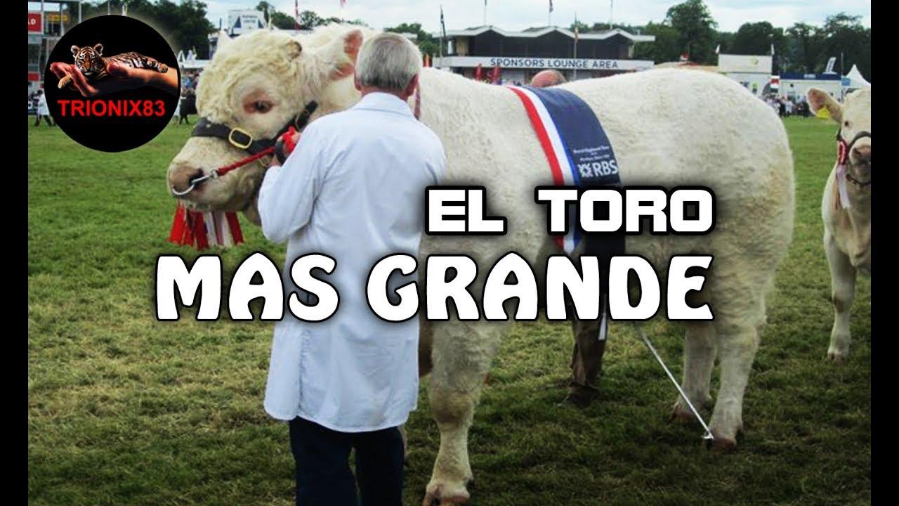 El Toro Mas Grande Del Mundo Los Toros Mas Grandes Del Mundo