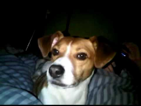 My singing beagle/russell - Barney and Happy Birthday