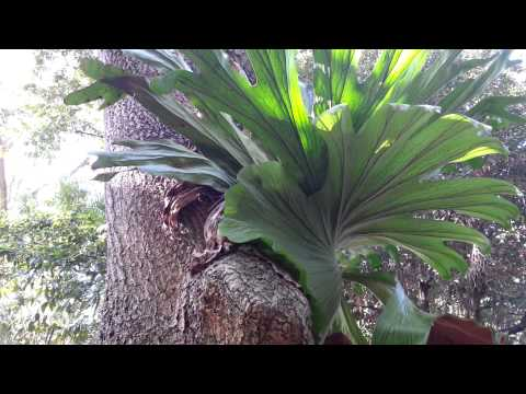Platycerium superbum - Staghorn  Horn Ferns - elkhorn ferns HD 01