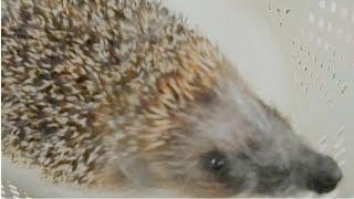 Ежик в гостях у Вероники Не ест сосиску Отпускаем в лес СМЕШНЫЕ ЖИВОТНЫЕ Видео про животных