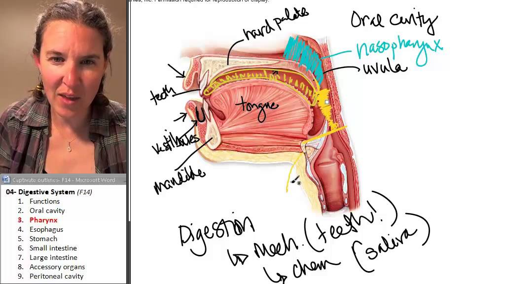 Digestive System 3- Pharynx - YouTube