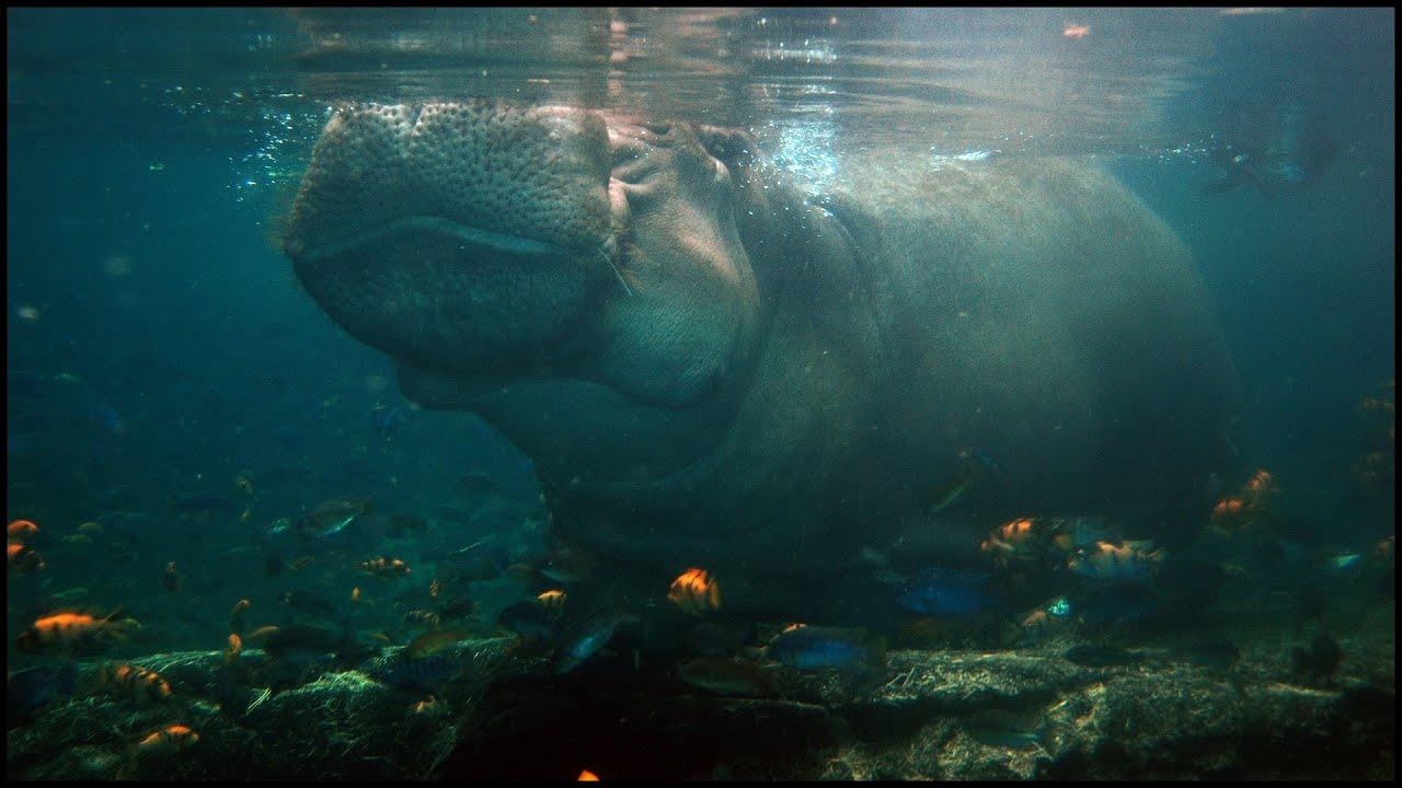 hippo holding breath under water hippopotamus amphibius   youtube