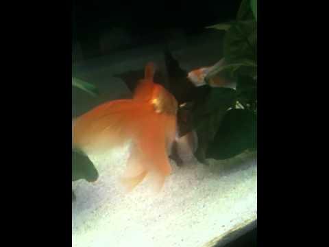 Deposizione uova pesci rossi carassius riproduzione youtube for Uova di pesce rosso