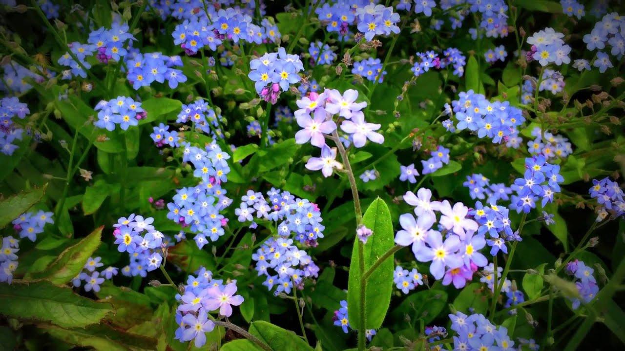 British Spring Blossoms Myosotis Sylvatica Forget Me Not Flowers