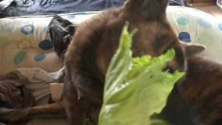 甲斐犬陸が、白菜を食べていたので、キャベツを食べさしてみました。