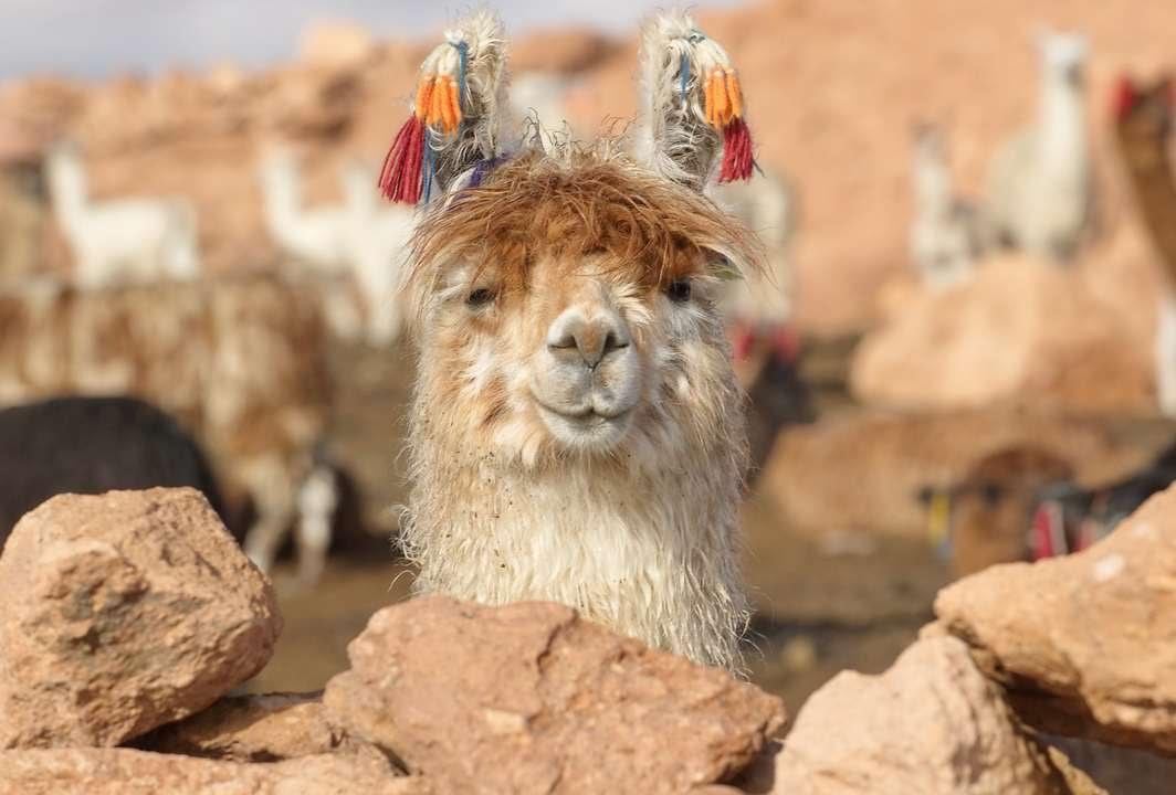 #1559. Ламы (В мире животных)