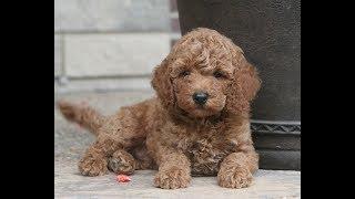 Sunshine Acre's Miniature/Moyen Poodle Puppies for Sale Near Me