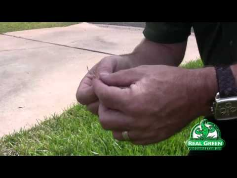 Brown Patch Disease - St Augustine Grass
