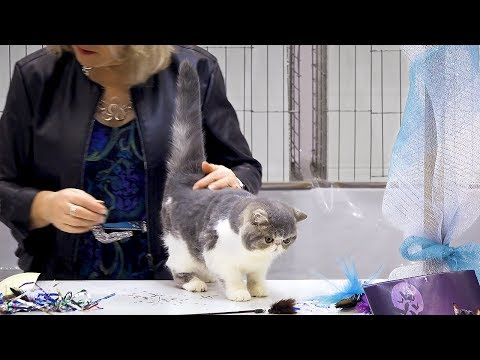 CFA International Cat Show 2018 - Exotic kitten class judging