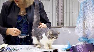CFA International Cat Show 2018  Exotic kitten class judging