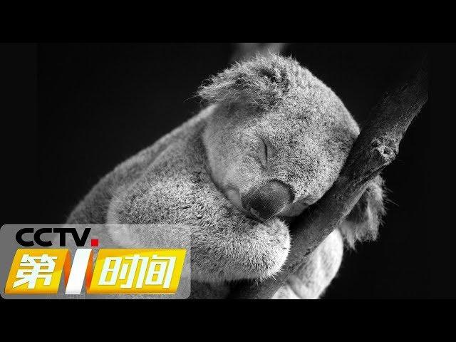 """《第一时间》澳大利亚考拉基金会:考拉出现""""功能性灭绝"""" 20190521 1/2   CCTV财经"""