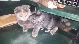 Дружба кошки и шиншиллы
