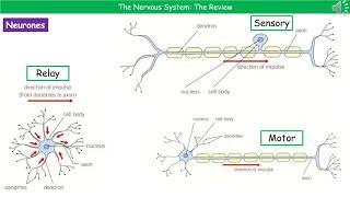 B3.1.1 - Nervous System Summary