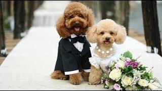 Sự thật đằng sąu Clip chú chó Poodle đáng yêu đi bằng hai chân