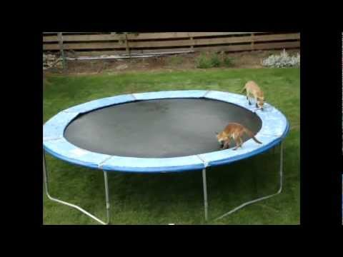 Foxes playing on our trampoline!