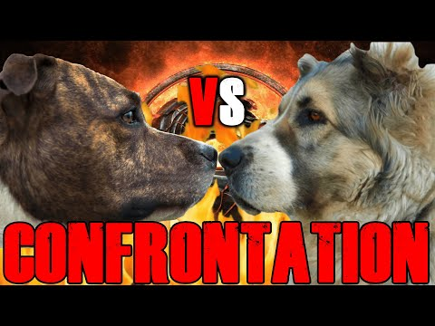 Pitbull Vs Alabai | Alabai Vs Pitbull | Central Asian Shepherd Vs Pitbull | Billa Boyka |