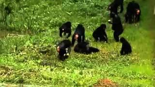 Секс у шапанзе бонобо