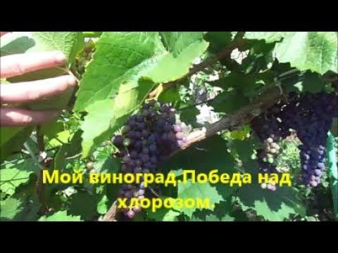 Мой виноград.Победа над хлорозом.