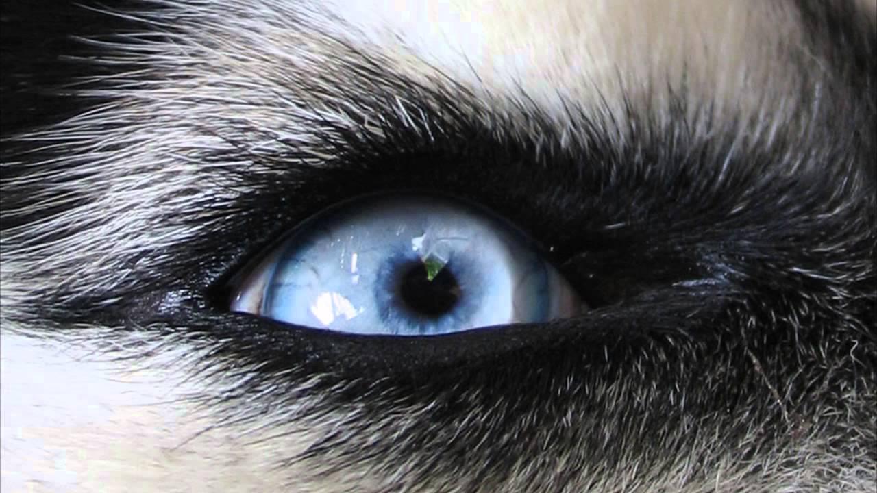 глаза волка у человека фото джинсовый