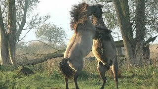 Impressive and Powerful Wild Fighting Horses
