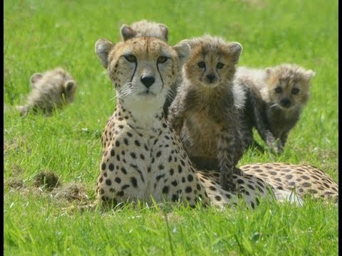 Cute Cheetah Cubs Cuddling At ZSL Whipsnade Zoo - YouTube