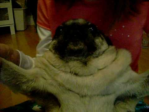 pug dancing fat pug dancing youtube 3162