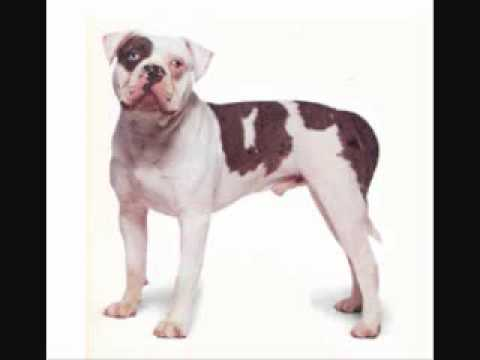 Alapaha Blue Blood Bulldog, Puppies For Sale By, Pets4you.com
