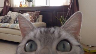 みんな知りたいお留守番中の猫、全公開!~お利口に母ちゃんのお見送りその後に…-Cat behavior during the owner's absence thumbnail