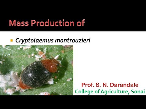 Mass Production Of Cryptolaemus Montrouzieri